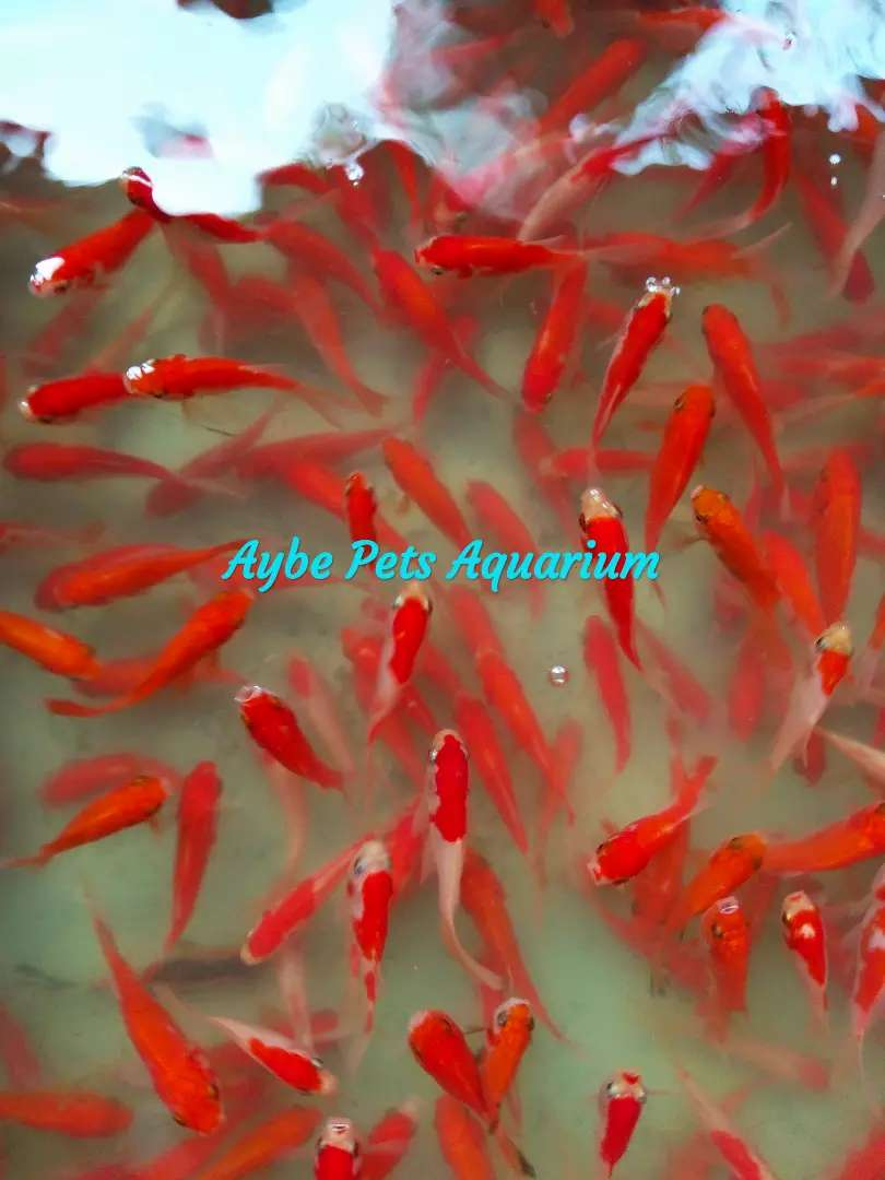 Ikan Komet Slayer Murah Grosir Partai Aquarium Hewan Peliharaan 539757854