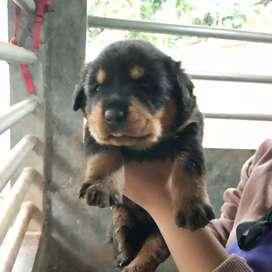 Rottweiler Jual Hewan Peliharaan Anjing Terlengkap Di Jawa Timur Olx Co Id