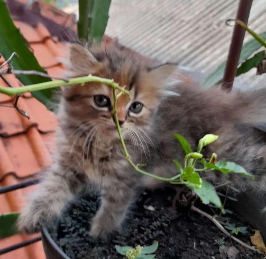 Dijual Anak Kucing Persia Mix Anggora Betina Usia 2 Bln Hewan Peliharaan 808101580