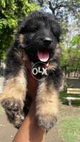 Long haired gsd male pup