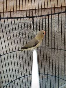Lovebird parblue euwing mouve