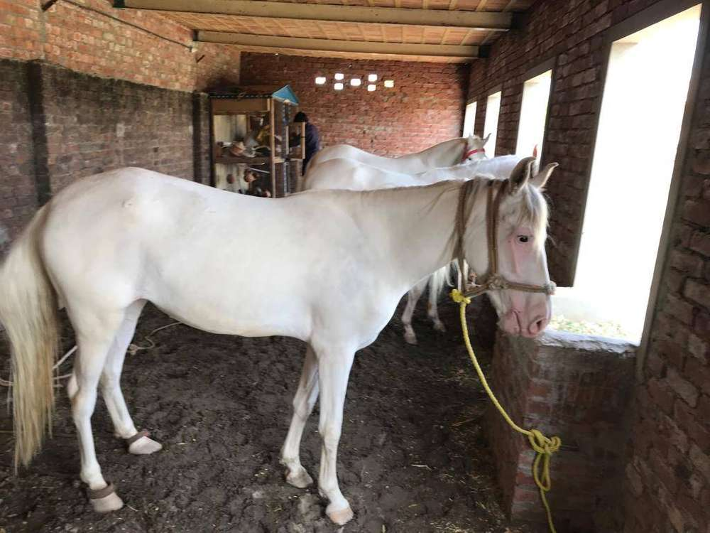Or Sale - Horses for sale in Pakistan | OLX com pk