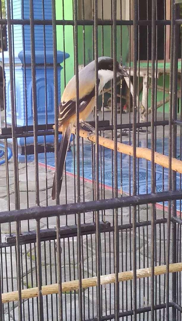 Burung Cendet Jantan Hewan Peliharaan 809178396