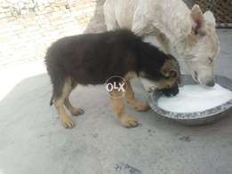 Gsd female available