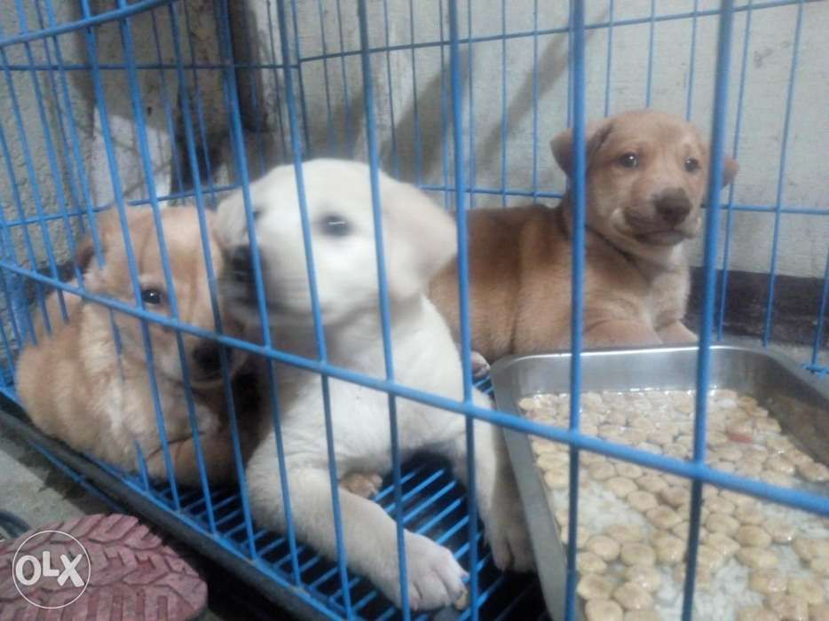 Golden Retriever Mix Labrador Puppies In Valenzuela Metro Manila