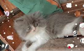 Kitten Persia Jantan