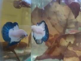 Ikan cupang blue rim ikan plakat