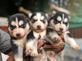Husky puppies imported lines