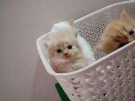 New cats Persian