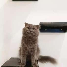 Kucing scottish fold jantan bukan bsh