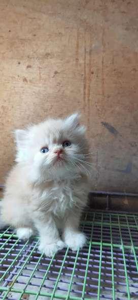 Kitten Jantan Redharleq