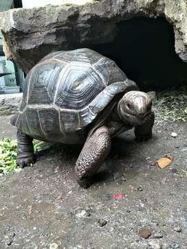 Kura Darat Aldabra Jumbo 55cm