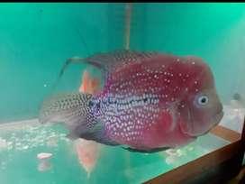 Dijual ikan louhan beserta meja,aquarium,lampu dll