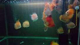 Ikan discus borongan