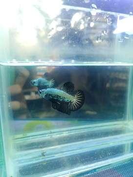 Ikan Cupang Hias Black Samurai Female Induk