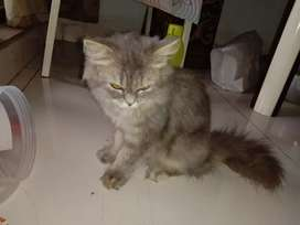 Persian cat age 4-5 months