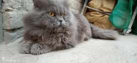 Parshian Gray Male For Sale