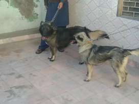 A pair of Alsation Dogs