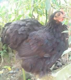 Ayam bantam chocin indukan