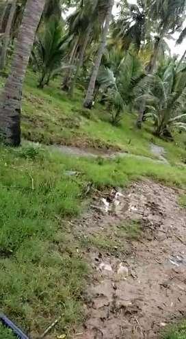 22 acres coconut farm fenced dindigul
