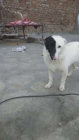 Rusi female Dog