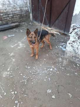 this is German shefard 10 month old.