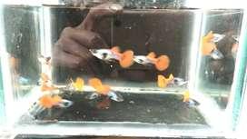 Ikan guppy PRTB