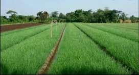 Di jual tanah sawah produkti 3 rulon ato 2600 meter persegi