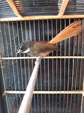 Burung Sikkor Merah