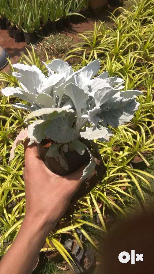 Nagarvel plant 0