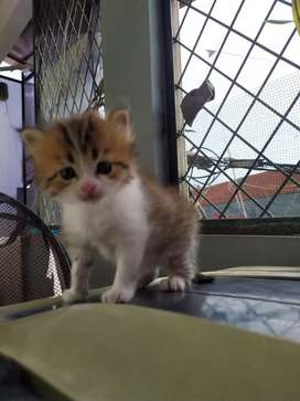 Kucing kitten maine coon mix persia
