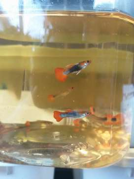 Ikan guppy tuxedo koi