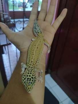 Jual Leopard Gecko