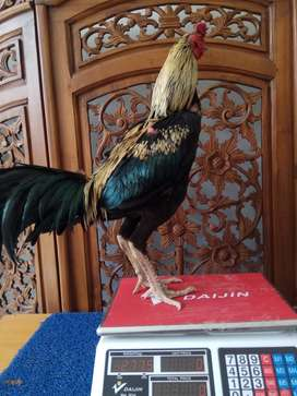 Ayam Bangkok Jogja JAMKID JAGO di balikpapan