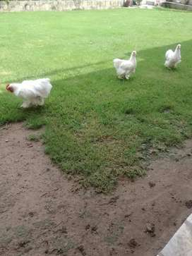 BENTUM HENS WHITE FOR SALE