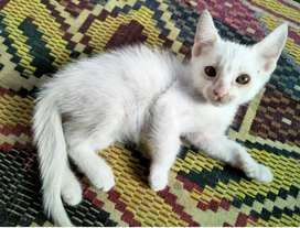 Kitten persion cat female