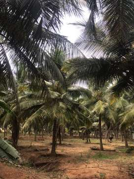 Coconut farm/agriland/agricultural land/agriculture land/farmland/land