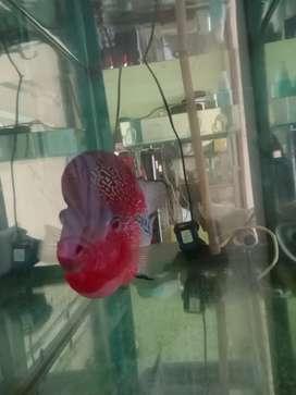 Ikan lohan merah penurut