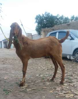 14 Months old Two Teeth (Donda) Buck High Quality Breed Heavy Bakra