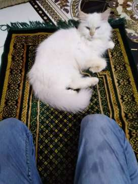 Beautiful Persian tripple coated male female pair available