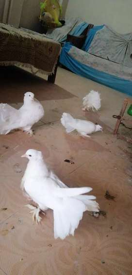 Lucky white pegions for sale