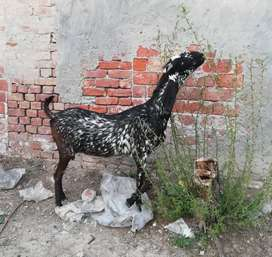 Makhi cheeni goat for sale