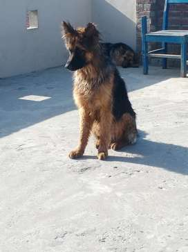 Long court male dog age 10 mouth