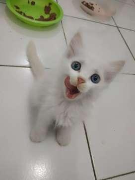 Kitten Persia 2 Bulan Solid White