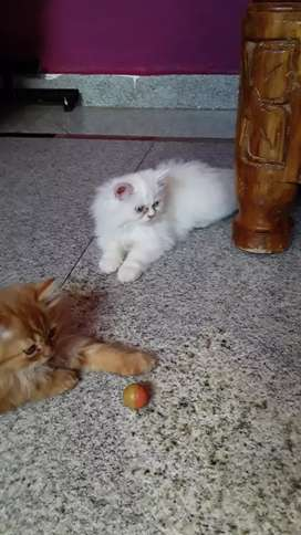 Persian  cat pure white with blue eyes male