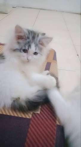 Kitten usia 2 bulan betina+jantan