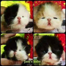 Cash on delivery kitten for sale