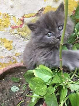 Persian kittens white or gray color triple coated  good punch face