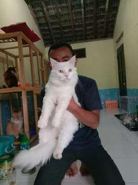 Jasa Pacak Kucing Persia Medium Tampan