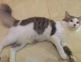 pacak/besanan kucing